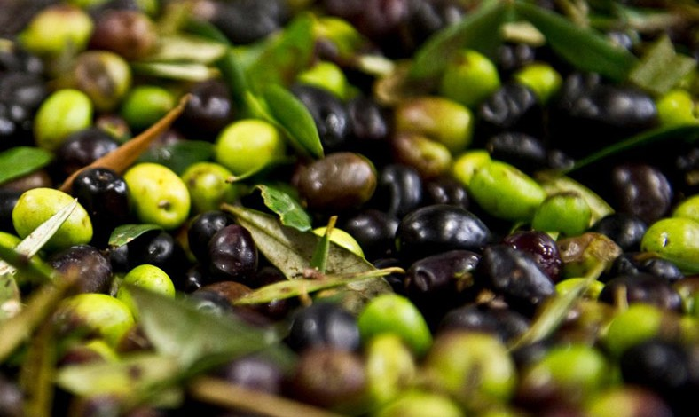 Visit Tuscany olive oil producers